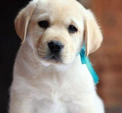 如何掌握给拉布拉多犬补钙的方法